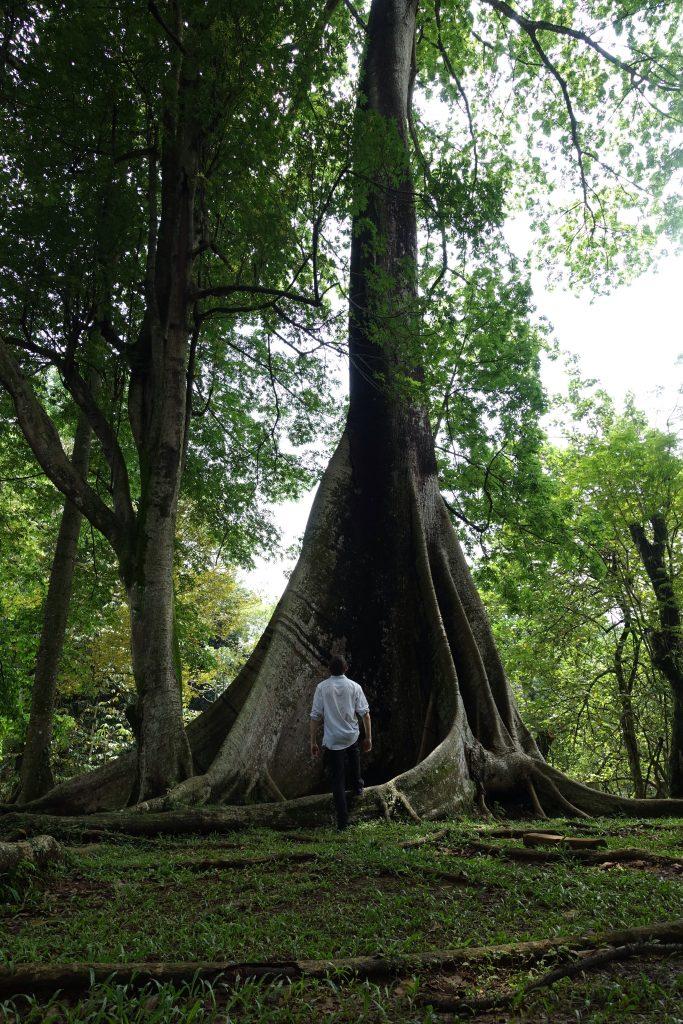 Tree in Bogor botanical gardens